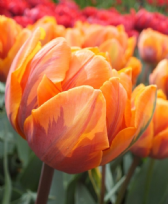 Tulip - Orange Princess